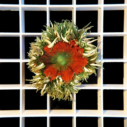 Epicystis Crucifer - Rock Flower Anemone