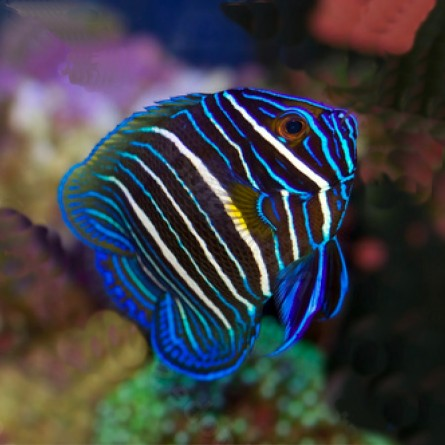 Pomacanthus Xanthometopon - Blueface Angelfish