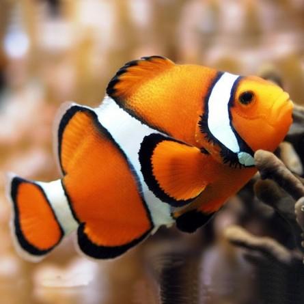 Amphiprion Percula - Orange clownfish