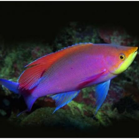 Mirolabrihthys Tuka - Purple Queen Anthias - Male