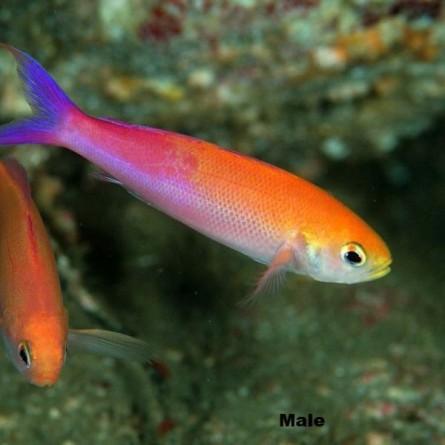 Luzonichthys Waitei - Magenta Slender Anthias