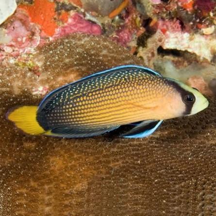 Pseudochromis Splendens - Splendid Dottyback