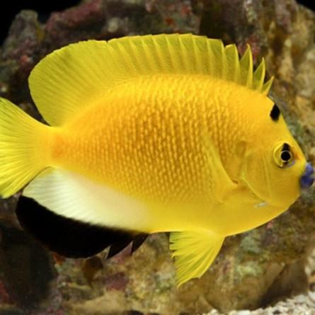 Apolemichthys Trimaculatus - Threespot Angelfish