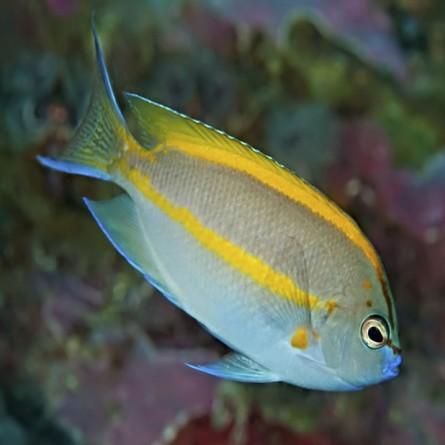 Genicanthus Bellus - Bellus Angelfish