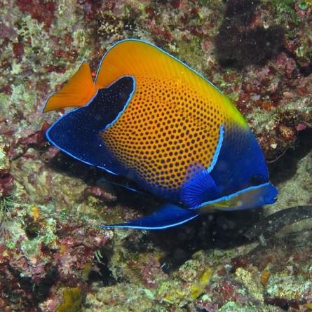 Pomacanthus Navarchus - Blue Girdled Angelfish